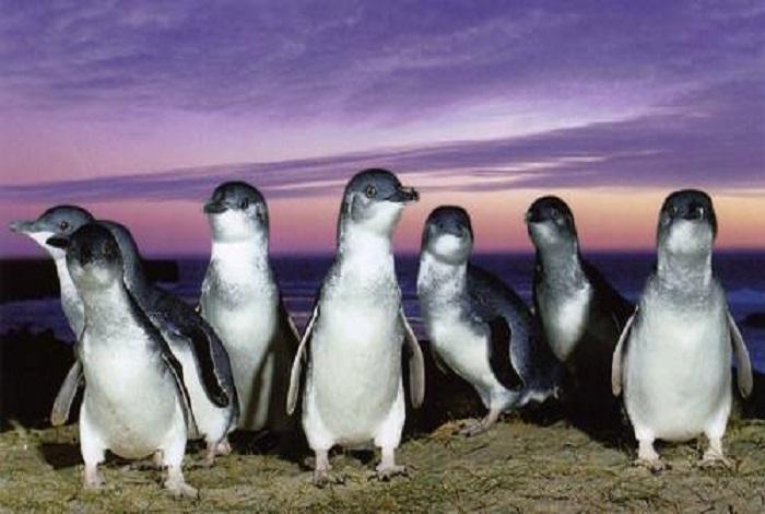 奥马鲁是小蓝企鹅栖息地,这里是观赏世界小企鹅的地点。在新西兰与澳洲南部的海岸都可以见到小蓝企鹅,但在奥马鲁游客能够近距离接触这些可爱的动物。在奥马鲁小蓝企鹅栖息地,游客可以看到这种全世界最小的企鹅捕鱼归巢的样子。