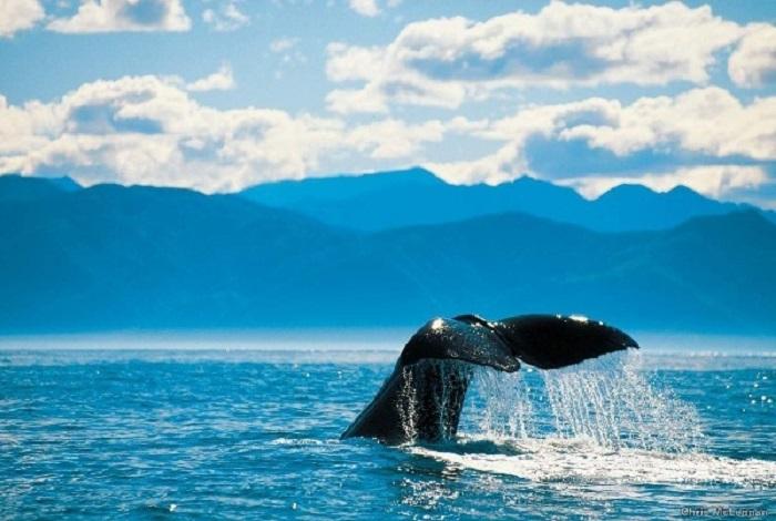 凯库拉观鲸是世上极少可以全年不分季节带领游客在近岸海域观赏世界上最大的齿鲸--抹香鲸,以及其它鲸类的海上观鲸公司。凯库拉观鲸除圣诞节外全年都提供观鲸服务。