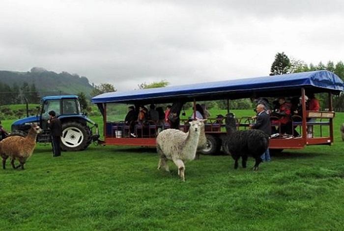 这家农场原名爱歌顿农场。后因英国女王伊利莎白二世到农场参观游览,对农场老板蒙着眼睛剪羊毛的绝活大加赞赏,于是允许将农场前面冠以皇家二字,所以就改成了爱歌顿皇家农场。说是农场,但这儿更像个牧场,甚至像个动物园。在这里可以看到红鹿、火鸡、驼鸟、羊驼、乳牛、小绵羊等动物,有的还能亲手喂食它们。