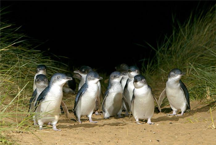 """企鹅归巢是菲利普岛自然公园内最具人气的景点,您可以近距离能听到企鹅""""呼呼""""声,看着小企鹅缓缓从海中一晃一晃走到洞穴中。"""
