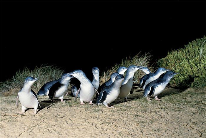 小企鹅是澳洲独有的企鹅品种,形态娇小、憨厚可爱。千百年来小企鹅无论寒冬酷暑,都在傍晚时分沿着这条路回家,非常具有观赏性。