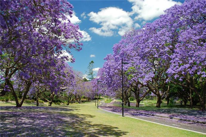 昆士兰大学里还有相当有名的蓝花楹(Jacaranda),每到九,十月份也就是学生们的考试季节,这蓝紫色的花就会开遍整个校园,昆大古典的教学楼搭配上盛开的蓝花楹,整个学校像是魔法学校般充满了梦幻色彩,所有从这里经过的人们,都会拿起相机,记录下这美好的画面!