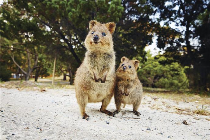 你会遇到只有在西澳大利亚州才能见到的可爱至极的迷你有袋类动物 (marsupial)、闻名世界的短尾矮袋鼠 (Quokka),以及许多独特的动植物物种。