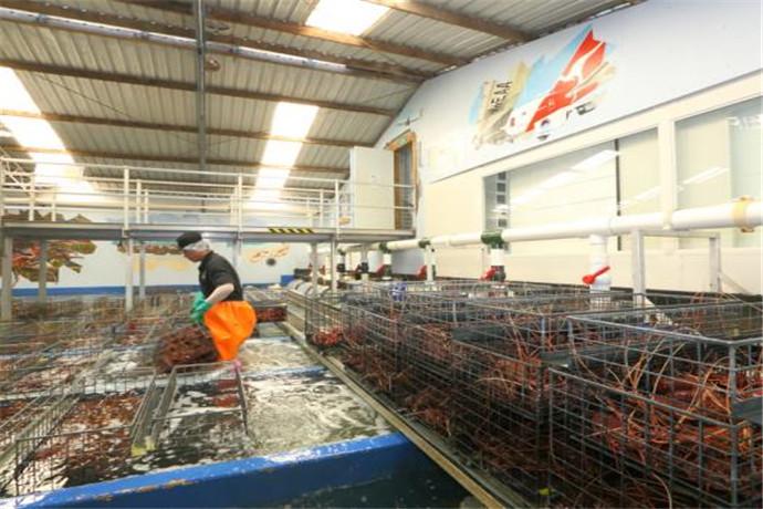 走进印度洋岩龙虾加工厂的现场,让游客直接感受当地产值达几百万美元的龙虾产业最原汁原味的风貌。 游客通过高架走廊参观工厂各处。工厂里有能同时处理20吨龙虾的多条生产线,场面十分宏大。