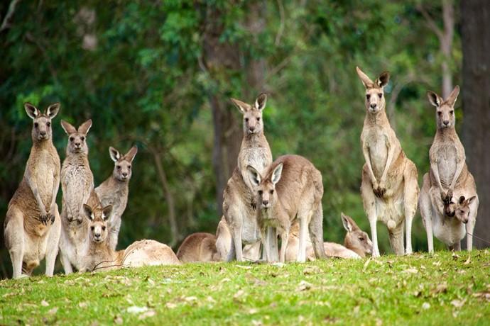 """是澳大利亚第一个设立的考拉保护区,其座右铭是""""地球不仅仅是人类的"""",表现了龙柏考拉园主张人与自然,动物的和谐相处和理解。"""