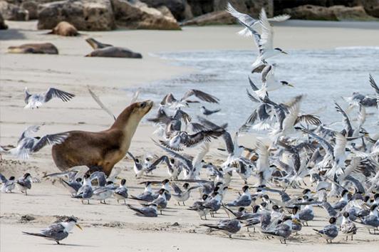 阿德莱德海豹保育公园 (Seal Bay Conservation Park)