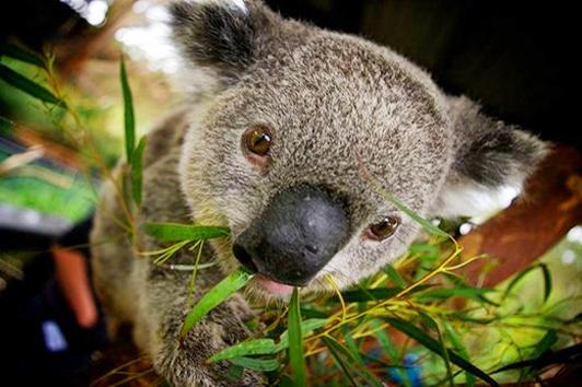 凯恩斯库兰达考拉园( Kuranda Koala Gardens)
