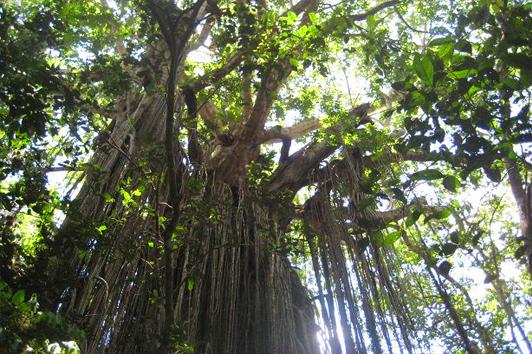 凯恩斯门帘树( Curtain Fig Tree)