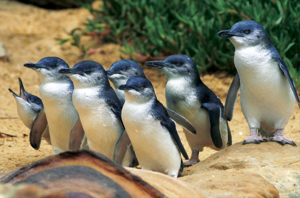 墨尔本菲利普岛企鹅天堂,澳洲旅游景点( Penguin Parade )